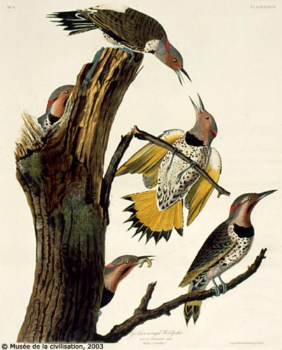 John James Audubon - Northern Flicker