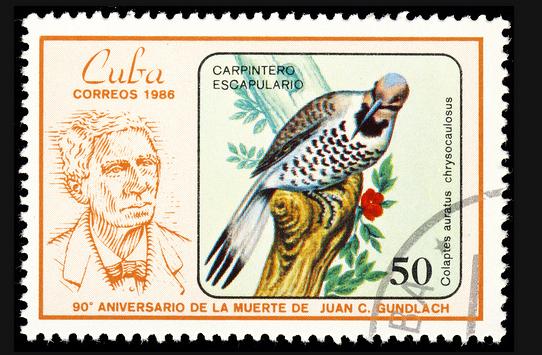 northern flicker cuba stamps (carpintero escapulario)